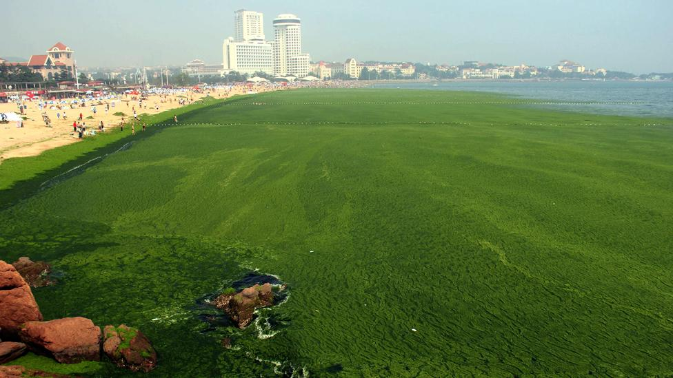 Fertiliser run-off has helped create algal tides which starve the water of oxygen and help create dead zones devoid of marine life. (Science Photo Library)