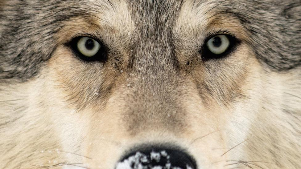 How reintroducing wolves helped save a famous park