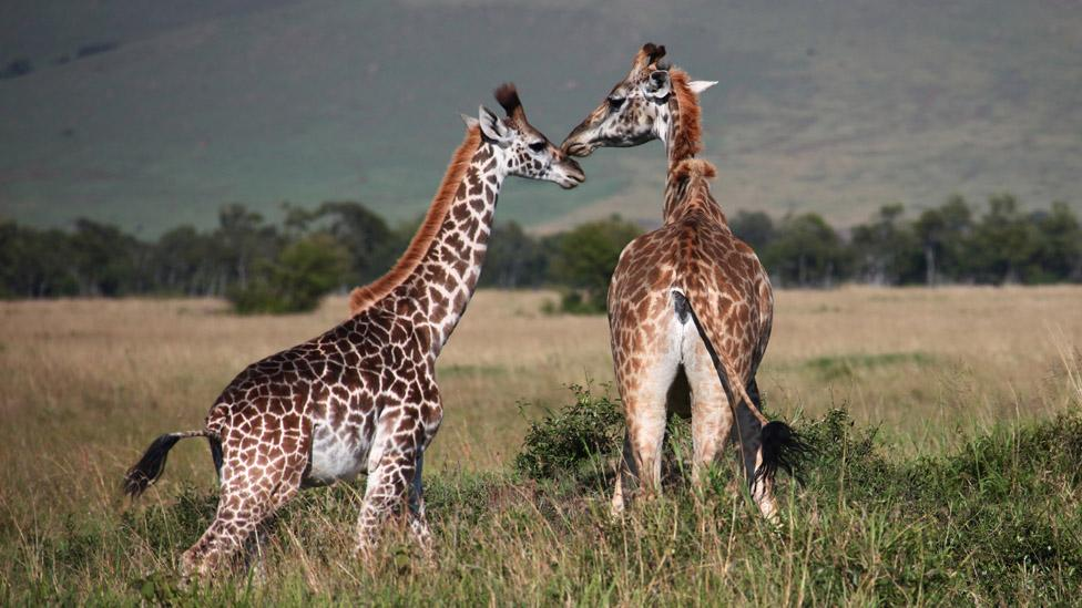 Daylong safaris are possible to Masai Mara National Park. (Peter Schatz/Getty Images)