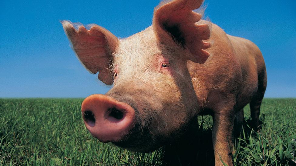 The value of pigs may rise if demand increases for their organs (Thinkstock)