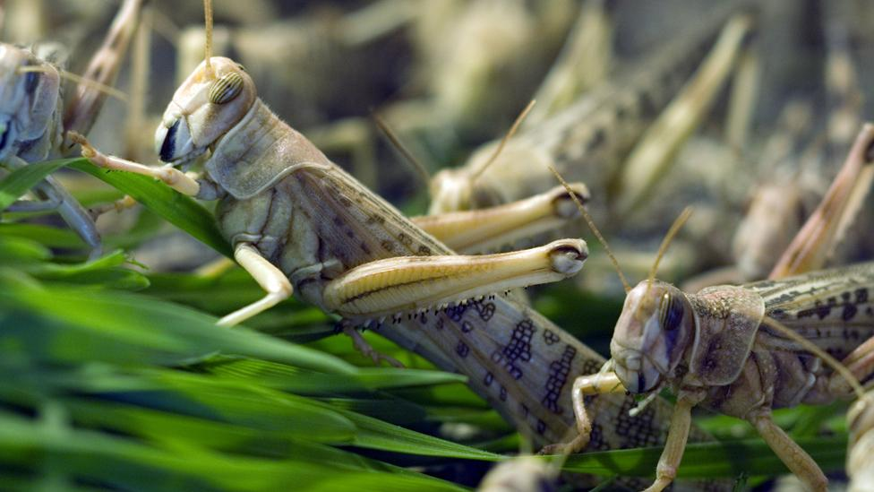 Locusts - which are highly nutritious - are a prized treat across the planet (Science Photo Library)