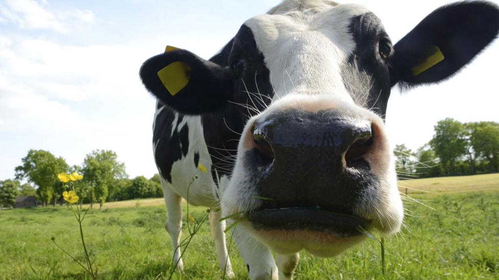 Cows have more scent receptors than dogs, but it's not clear they can smell any better (Credit: Thinkstock)
