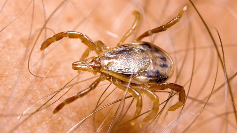 Best Tick Repellent For Humans 2020.A Tick Bite That Makes You Allergic To Red Meat Bbc Future