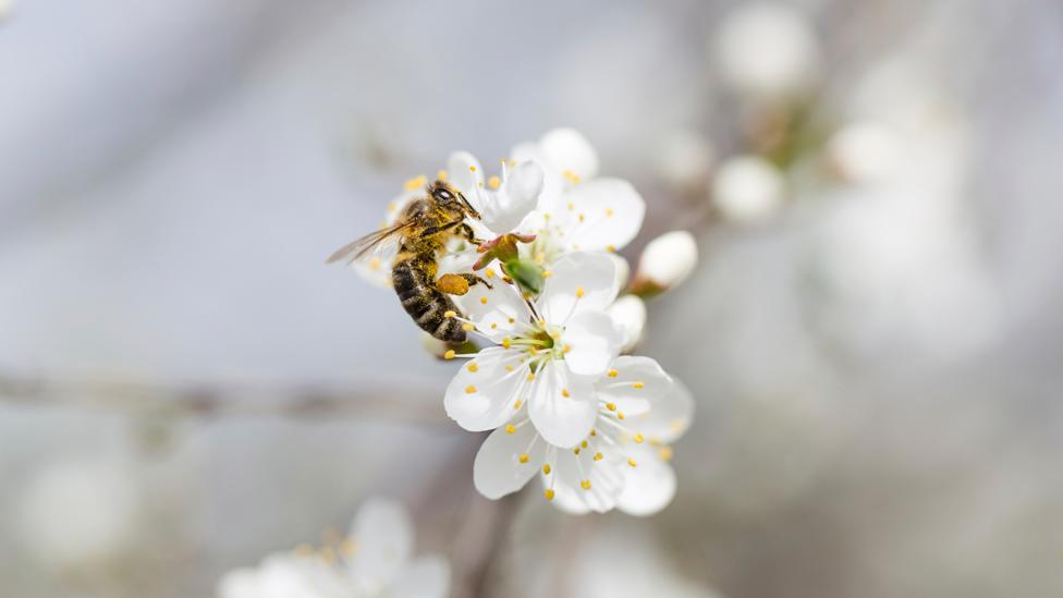 """The trees flowers have to be """"sealed"""" so insects like bees can't pollinate them (Credit: iStock)"""