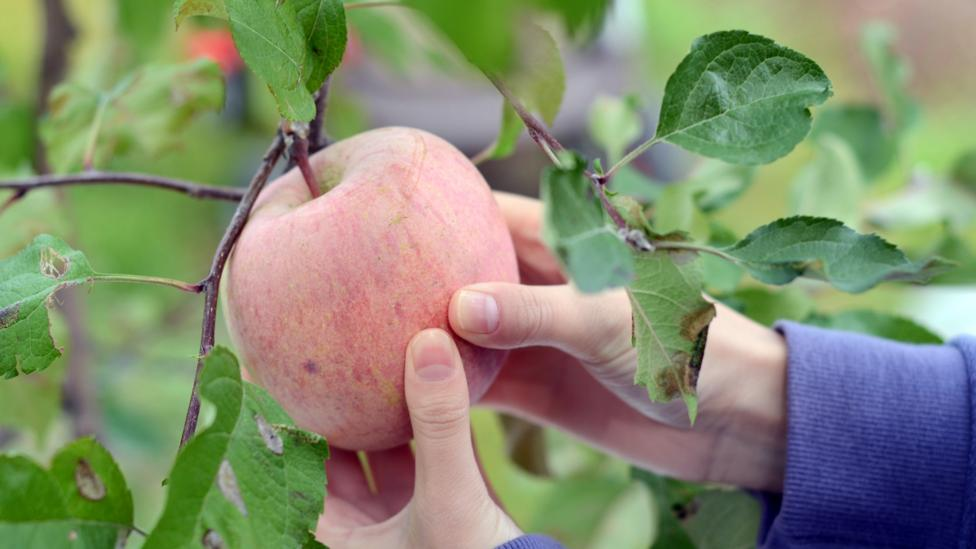 The Kazakh forests contain a wide range of apples that the West has not yet encountered (Credit: Getty Images)