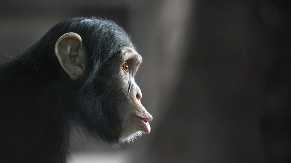 Primates, with their superior strength and opposable thumbs, would be a tough competitor (Credit: iStock)