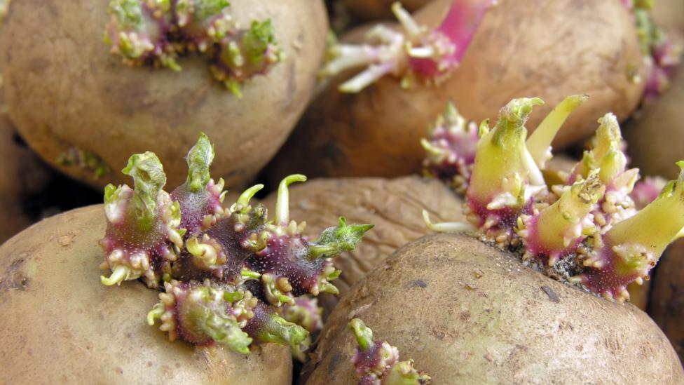 When potatoes sprout and turn green, that means levels of toxic solanine are high (Credit: iStock)