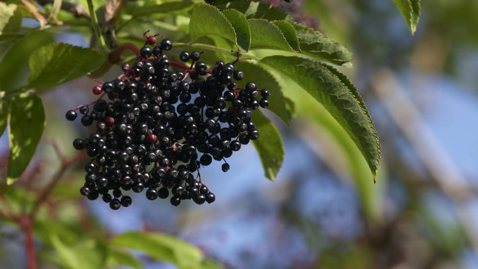 Elderberries have to be cooked in order to neutralise toxins (Credit: iStock)