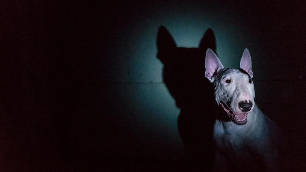 Chasing tails can be a compulsive trait in bull terriers (Credit: iStock)