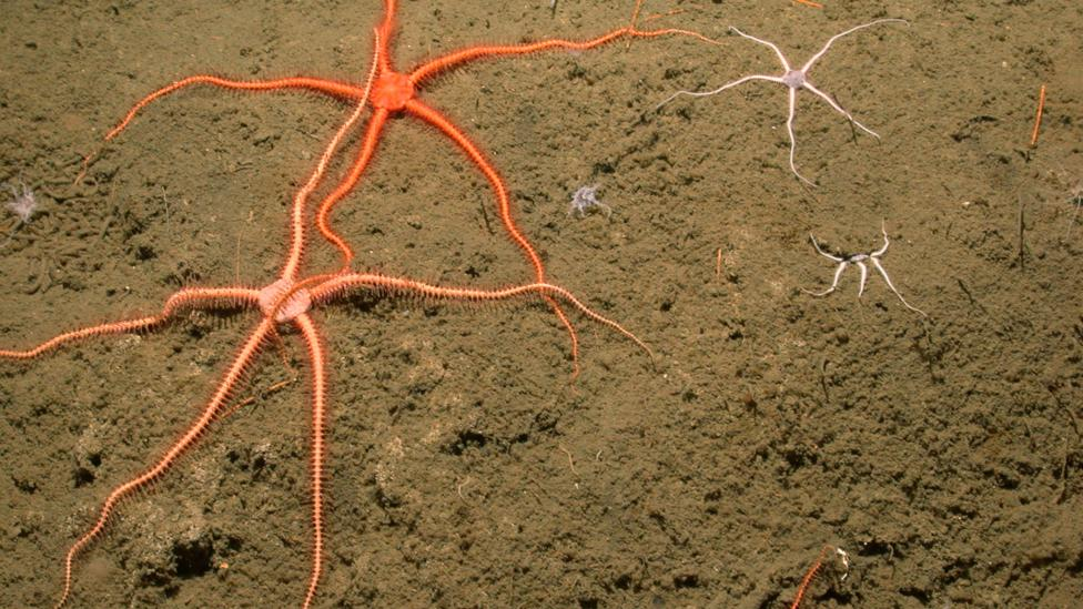 Despite the intense cold and pressure, life seems to thrive near the flows (Credit: MBARI)