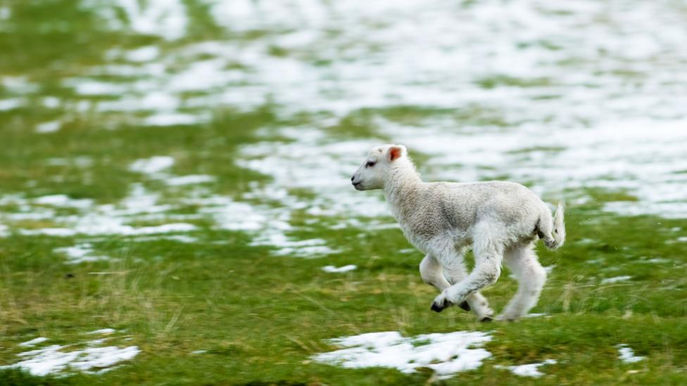 It's not difficult to figure out why a light spring snowfall is known as a 'lambing storm' (Credit: Alamy)