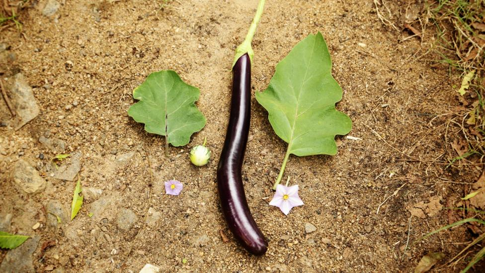 Cross-breeding wild vegetables with their cultivated counterparts on the farm could create a hybrid super-veggie resilient to pests and disease (Credit: LM Salazar / Crop Trust)