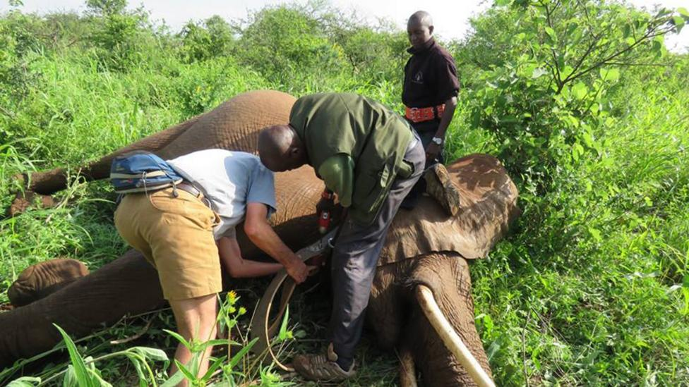 Three members of the Save the Elephant team putting a GPS-enabled collar on an elephant in Marsabit  (Credit: Ian Craig/NRT)