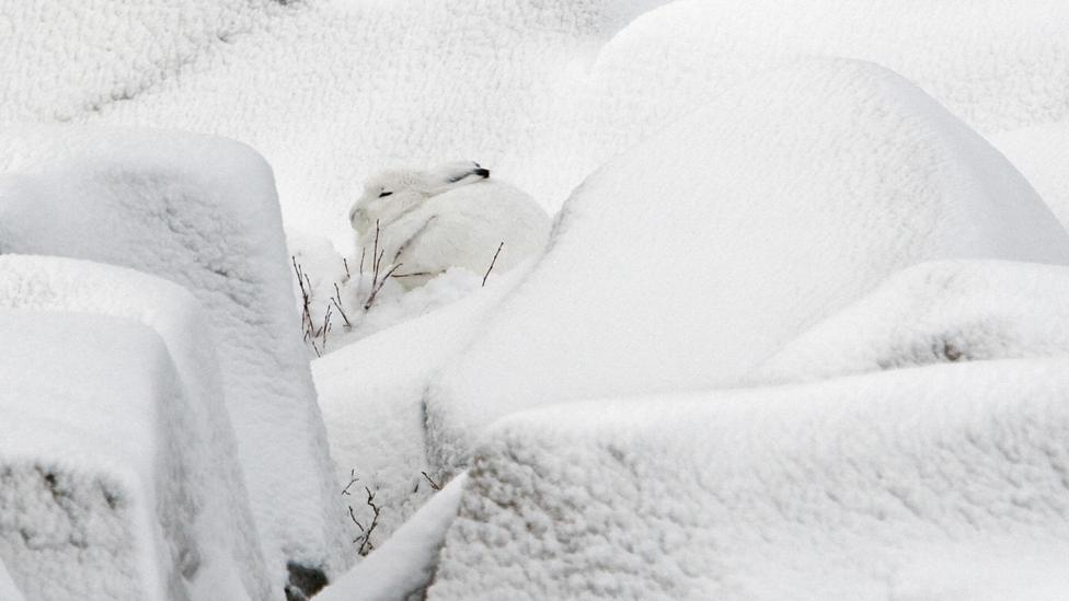 The arctic hare is finding it harder to blend in as the ice melts, according to park rangers (Credit: Getty Images)