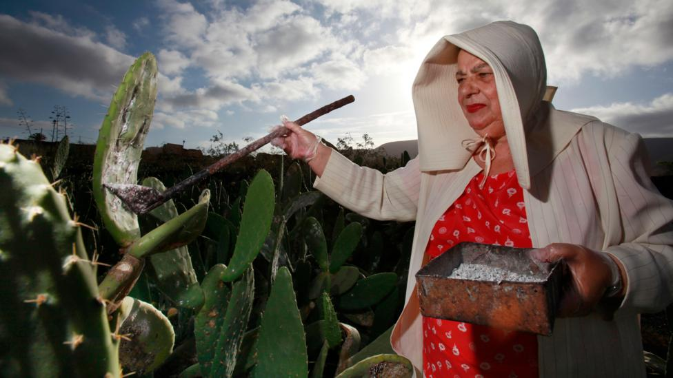 A farmer collects cochineal insects from cacti. The deep red colour, known as carmine, comes from an acid that the oval-shaped bug produces to fend off predators (Credit: Alamy)