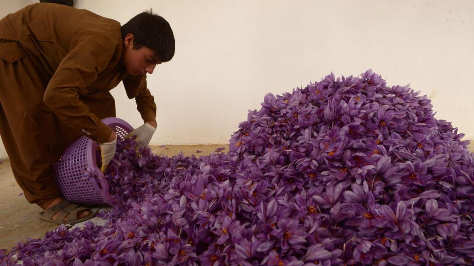 Picking the delicate stigma from crocus flowers to produce saffron is painstaking work (Credit: Getty Images)