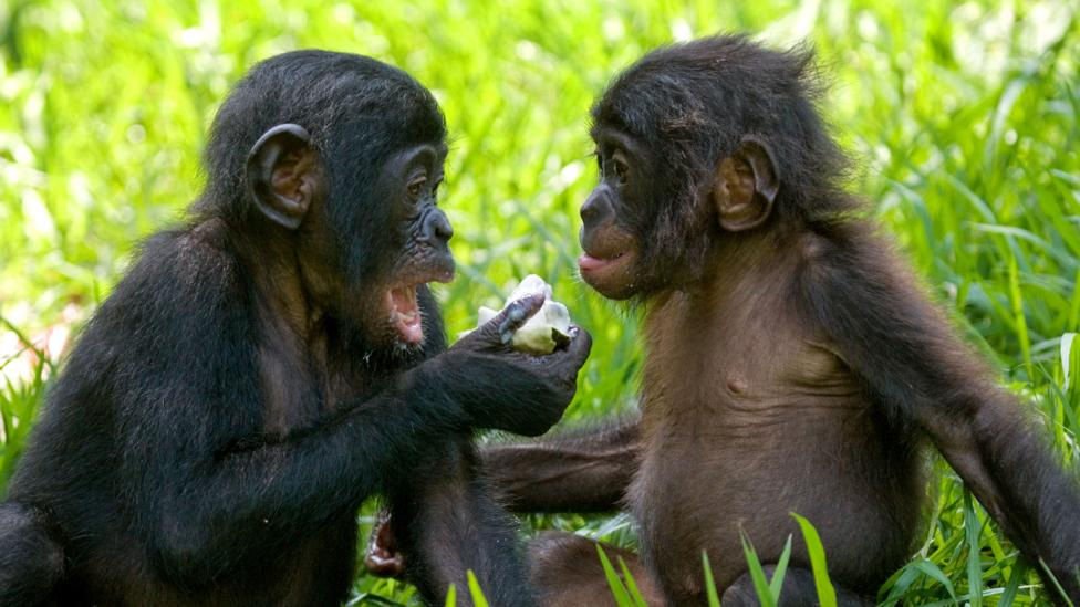Female bonobos can team up to overcome aggressive males – but are more inclined to be lovers, not fighters (Credit: Getty Images)