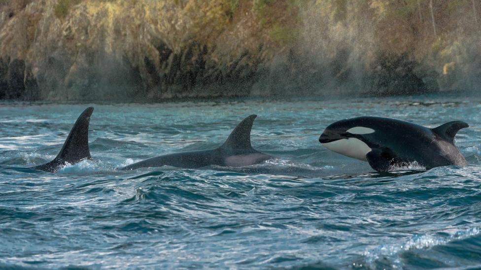 Orcas are just one of a handful of mammal species which show female leadership traits (Credit: Getty Images)