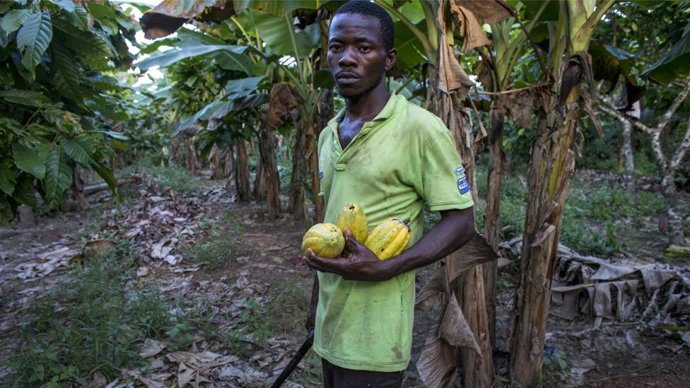 Earlier this year, Ivory Coast announced it will have to take out anentire cocoa plantation of 100,000hectarescontaminated by virus (Credit: Getty Images)
