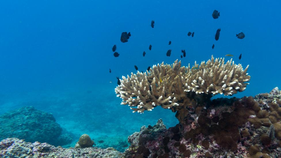 Because most people aren't that familiar with how coral should normally look, researchers found that an image like this one, of coral bleaching, had less impact… (Credit: Getty)