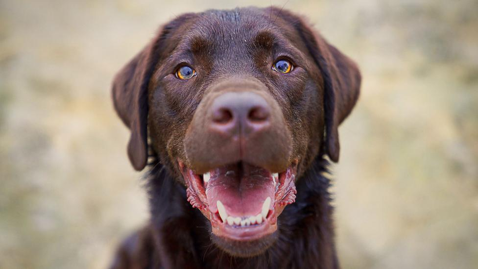 About a quarter of Labradors carry a genetic mutation that makes them predisposed to obesity (Credit: Getty)