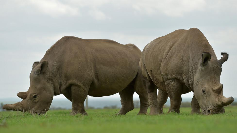 With only two remaining female northern white rhinos and no males, the species is destined for extinction, unless bodies on a chip can recreate sperm cells (Credit: Getty Images)