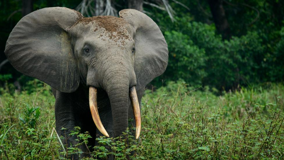 Eavesdropping on the calls of forest elephants could help give an early warning to problems amoung groups of these endangered animals (Credit: Getty Images)