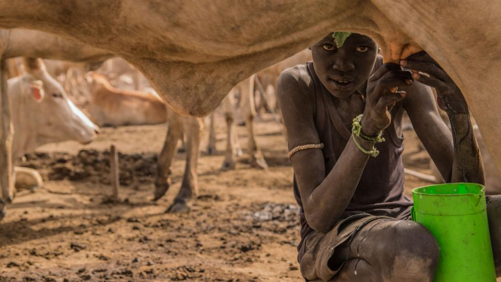 A Sudanese boy milks a cow at a cattle camp; an enduring mystery is why only some pastoralist groups acquired lactase persistence (Credit: Getty)