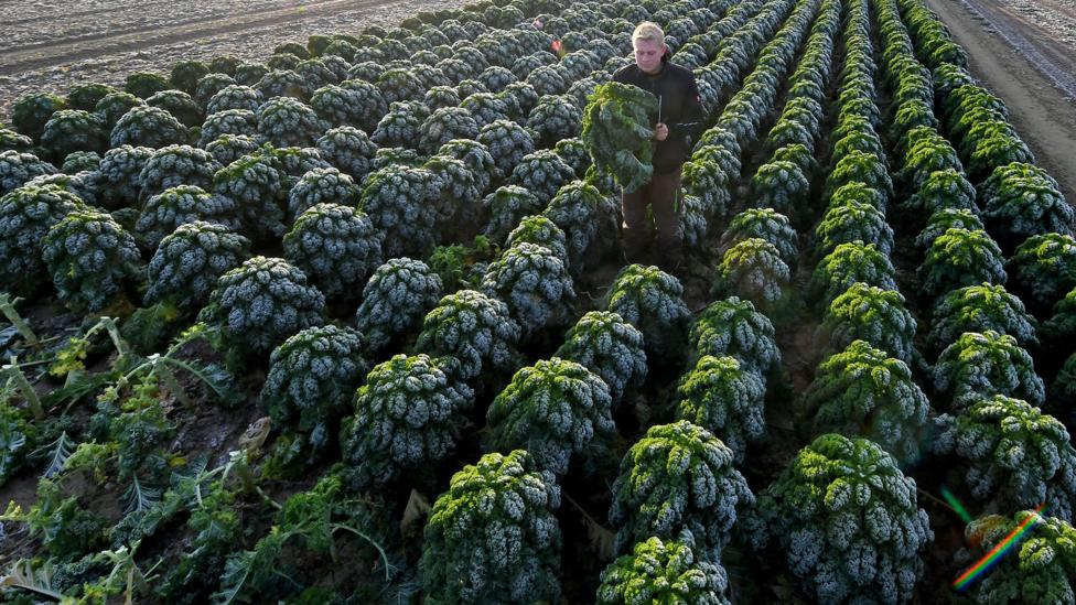 A kale farm in Germany. The number of kale farms in countries like the United States has skyrocketed in recent years (Credit: Getty Images)