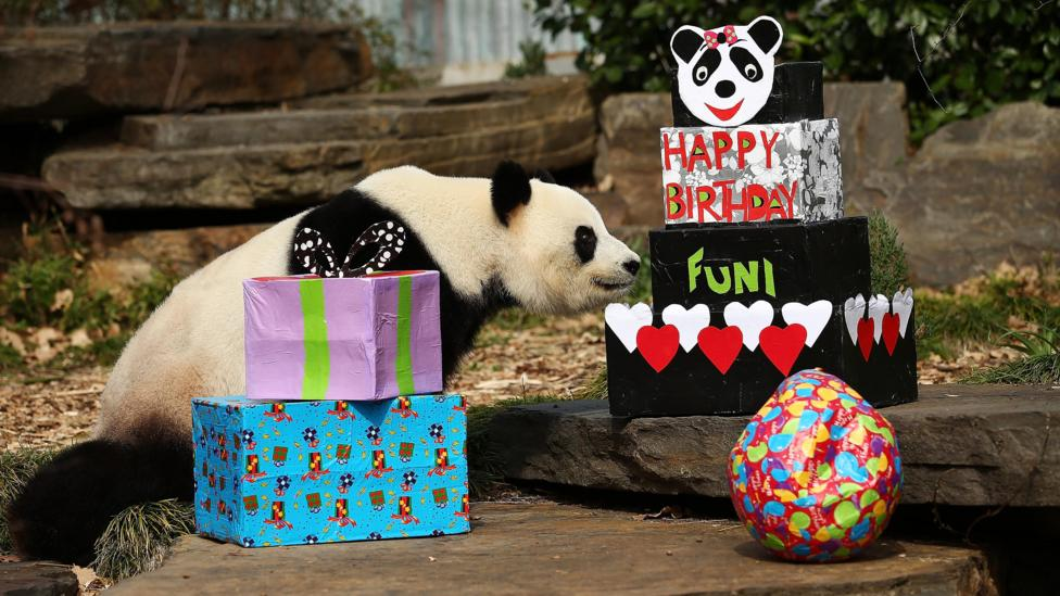 Fu Ni the giant panda is treated to specially prepared panda treats for her birthday at the Adelaide Zoo in 2015 (Credit: Getty Images)