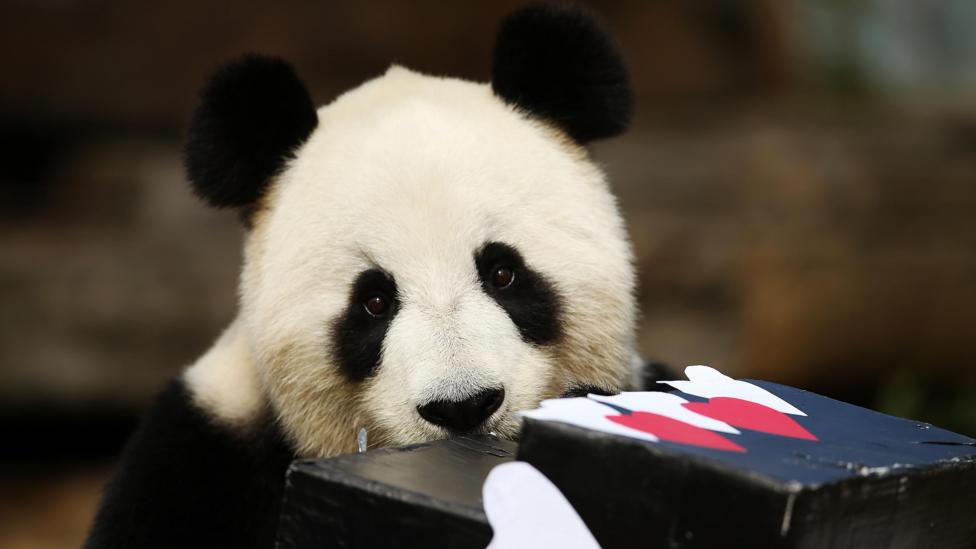 """Although no longer """"endangered"""" there are still just 500 to 1,000 adult pandas left in the wild, in six isolated mountain ranges in China (Credit: Getty Images)"""