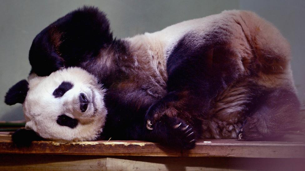 Edinburgh Zoo's receipt of two pandas in 2011 was linked to trade deals worth billions of dollars (Credit: Getty Images)
