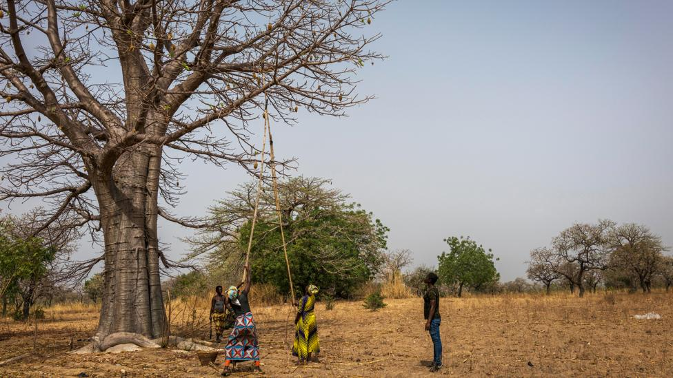 Demand for baobab in Europe and the US has given new value to the trees in Ghana (Credit: Aduna)