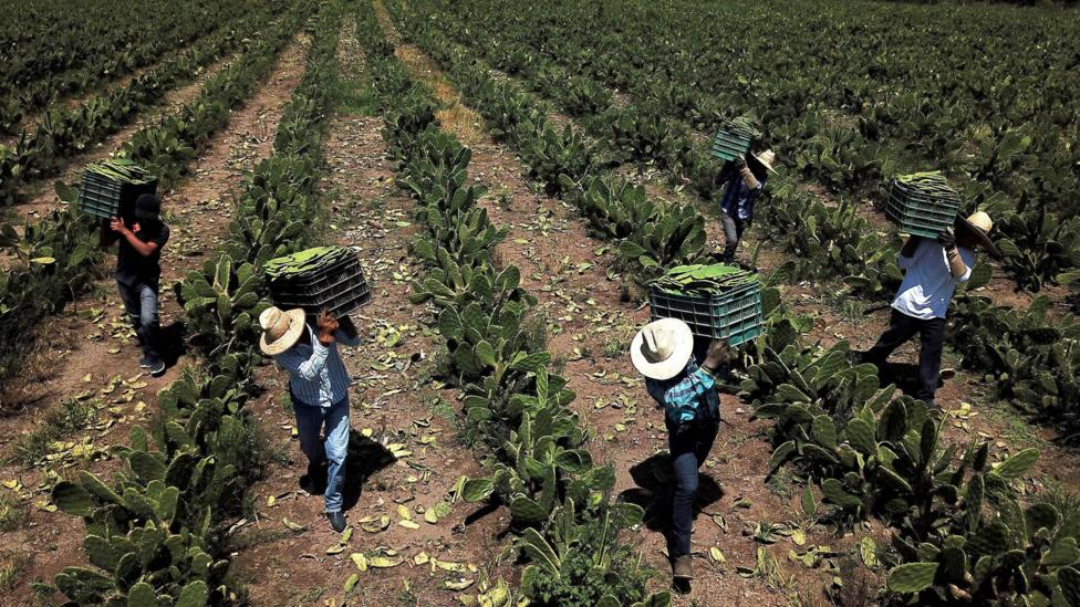 Farm workers in Mexico harvest white nopal (Credit: Getty Images)