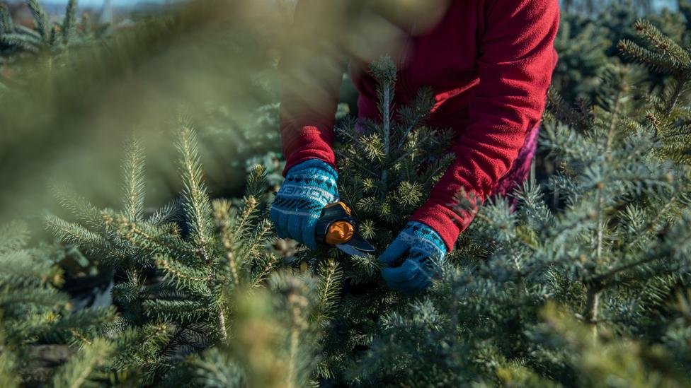 Recession prompts Christmas tree shortage a decade later