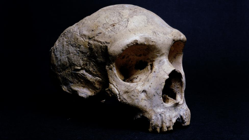 The fossilised skull of a Neanderthal found on Gibraltar (Credit: Getty Images)