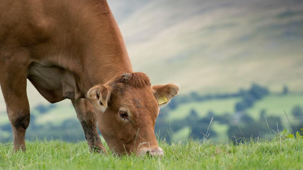 Cattle farming is a source of income for an estimated 1.3 billion people worldwide (Credit: Getty Images)