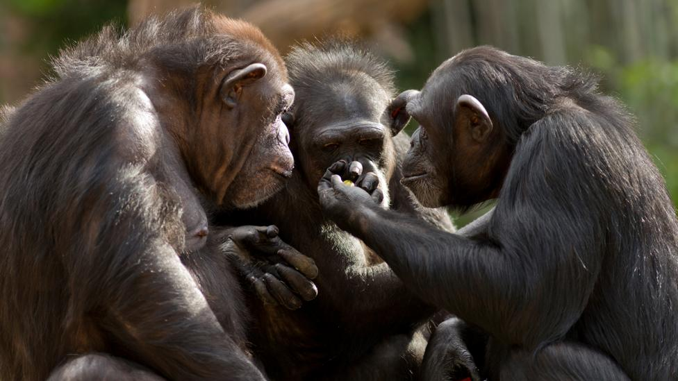 Chimps may retaliate against food theft, but they don't punish the thief (Credit: Getty Images)