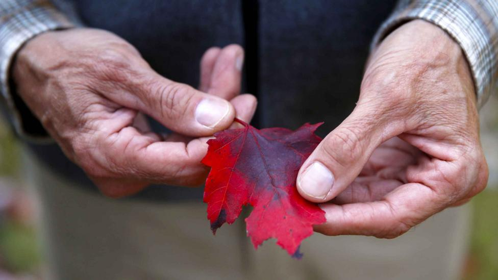 Some trees, such as varieties of maple, are very good at trapping air pollution particles (Credit: Getty Images)