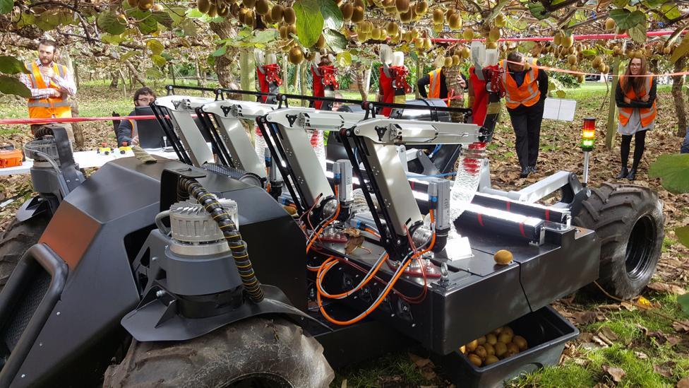 A robot picking kiwi-fruit (Credit: Robotics Plus)
