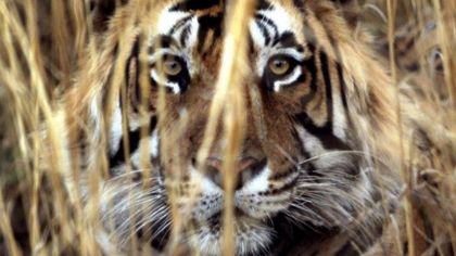 Can the scent of Calvin Klein catch a 'killer' tiger?